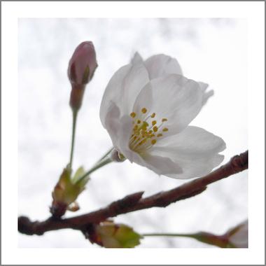 Sakura070327
